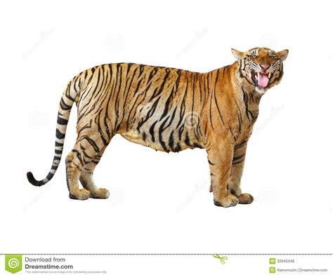 Tiger with clupping path stock photo