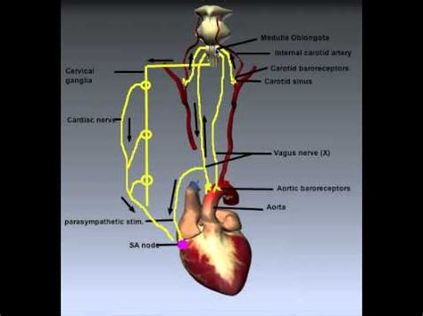 Cardiovascular System: Control of Heart Rate - YouTube
