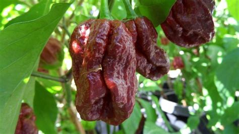 Hottest Peppers In The World 2020: Eating On The Edge