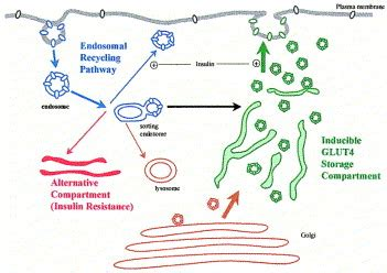 Insulin action and insulin resistance: diseases involving