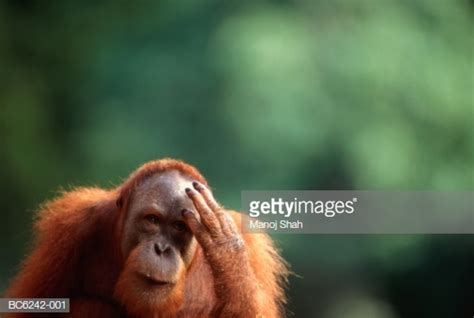 Monkey Scratching His Head Stock Photos and Pictures